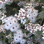 Kaapse Kamille / Eriocephalus Punctulatus etherische olie