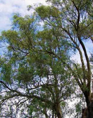Alambika - Etherische olie: Eucalyptus Macarthurii 10 ml (tht: 03-2020)
